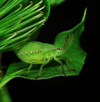 Grüne Stinkwanzen Larve