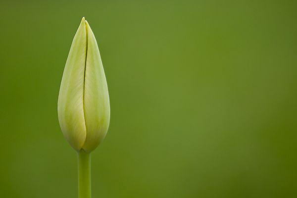 Grüne Tulpe auf grünen Grund