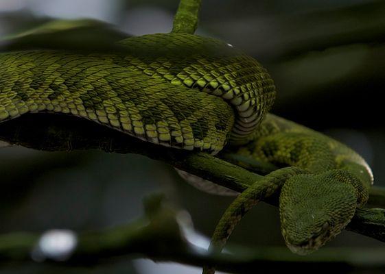 Grüne Viper im Regenwald
