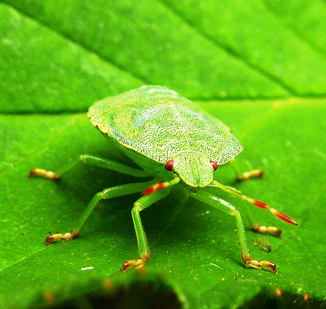 gr ne wanze foto bild tiere wildlife insekten bilder auf fotocommunity. Black Bedroom Furniture Sets. Home Design Ideas