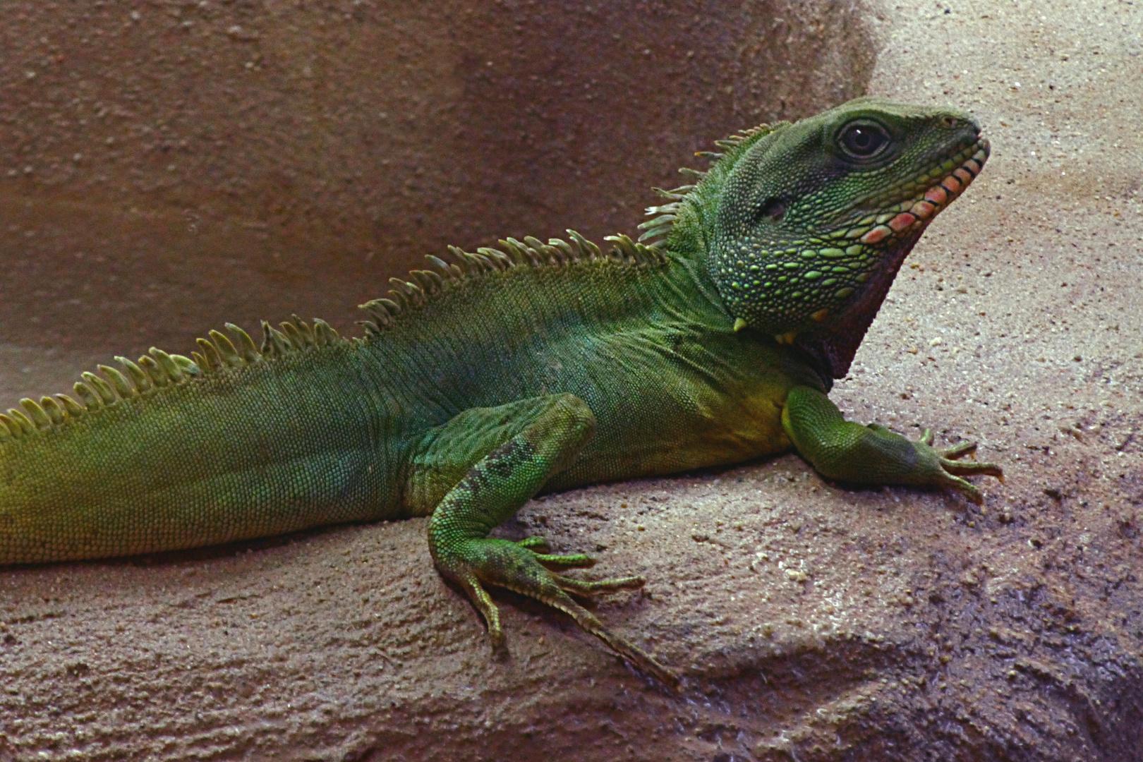 Grüne Wasseragame (Zoo Neuwied)
