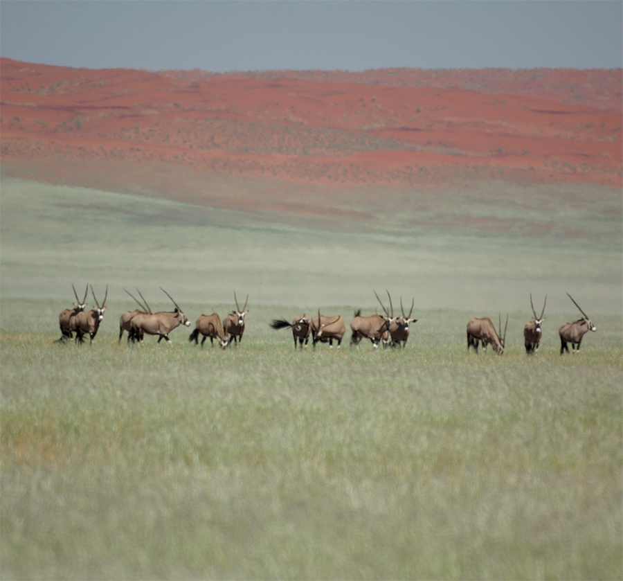 Grüne Wiese, Oryx, rote Dünen.