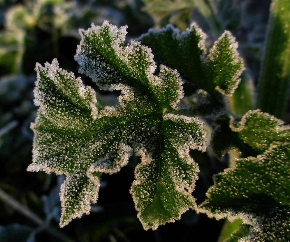 """""""Grüneis"""", der erste richtige Frost 4"""