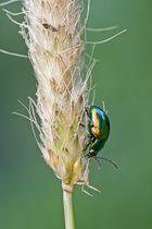 Grüner Ampferblattkäfer