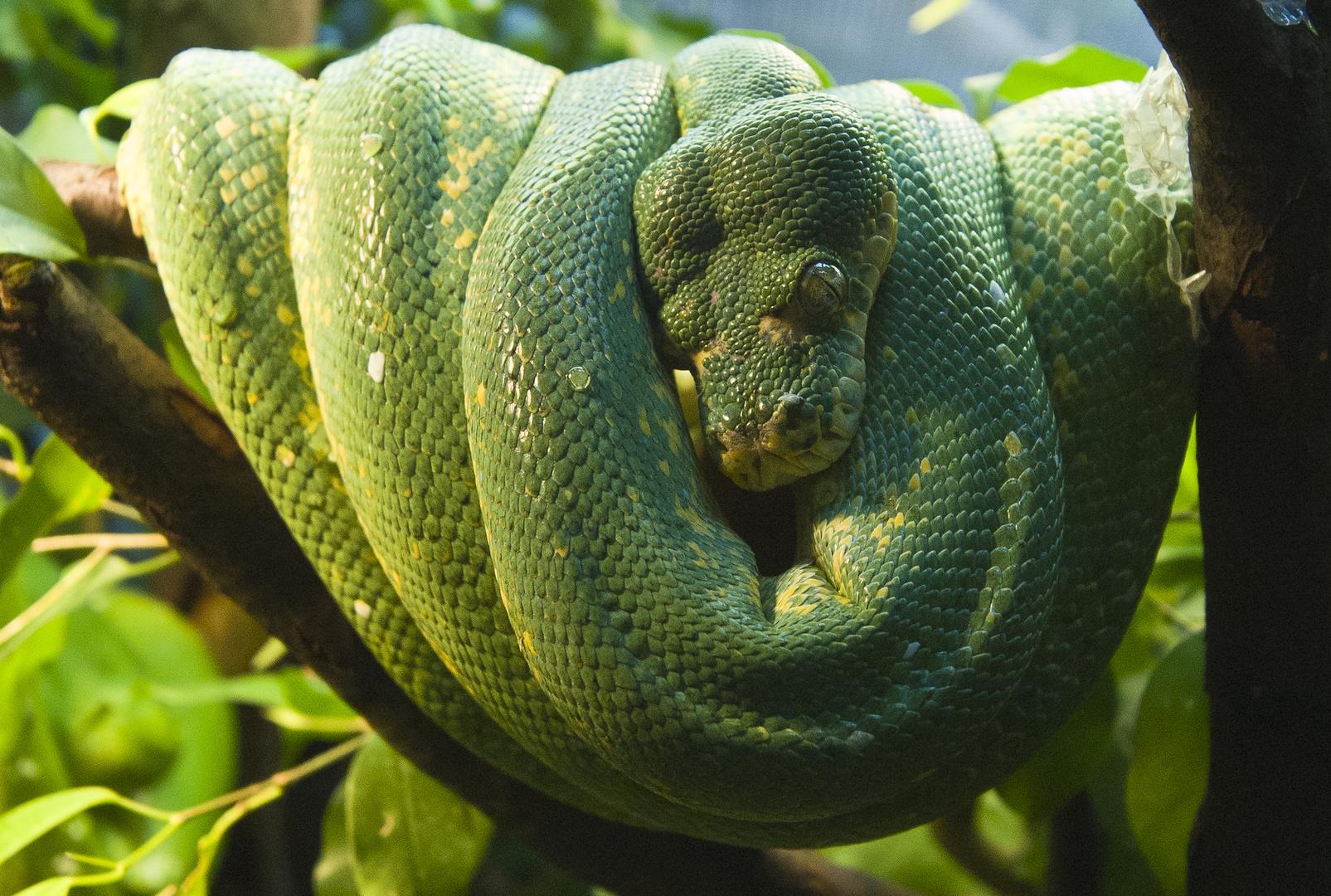 Grüner Baum Python - Green Tree Python - Morelia viridis