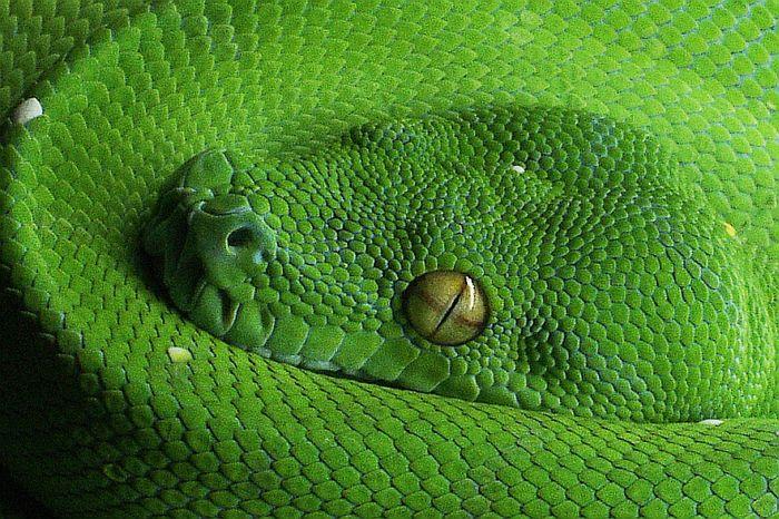 Grüner Baumpyton - Makro vom Kopf