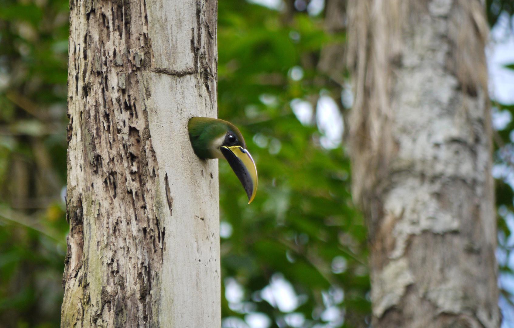 grüner brütender Tukan in Belize