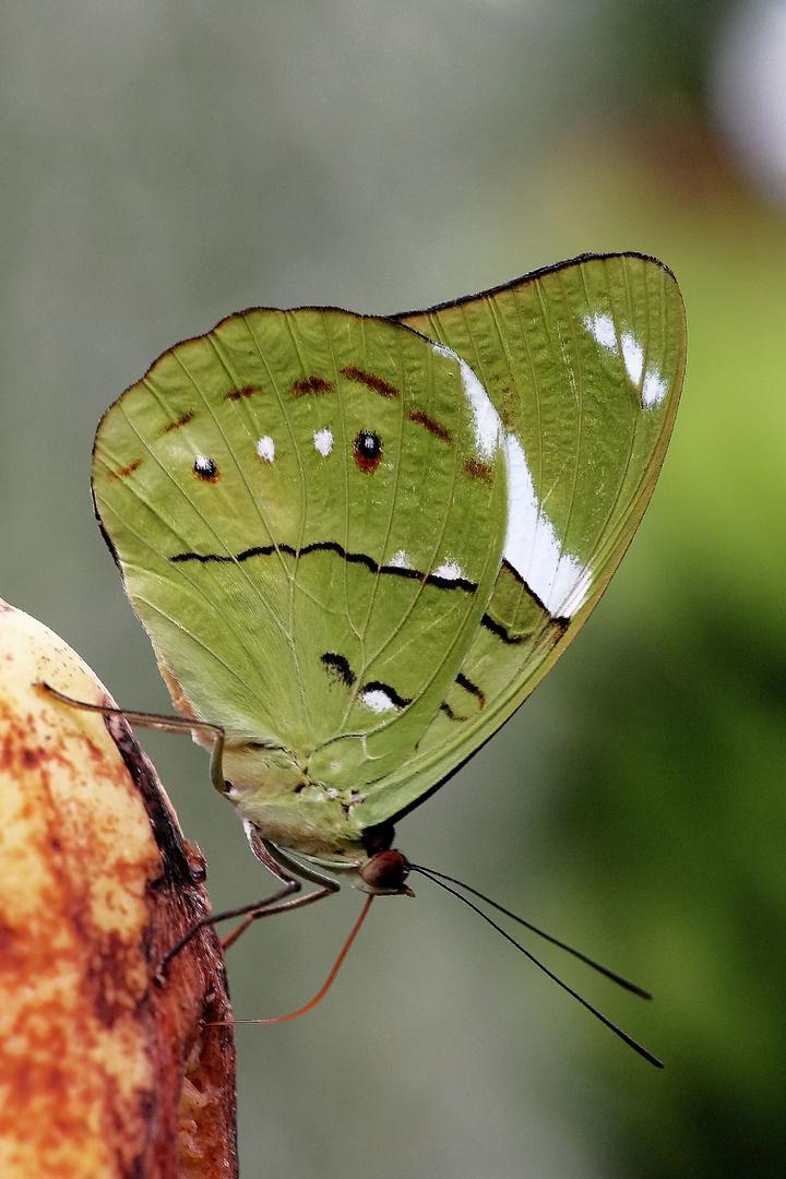 grüner Falter (unbekannt ).