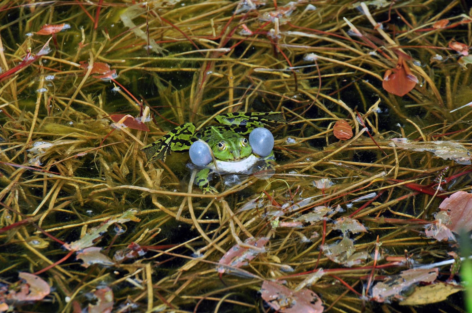 grüner Frosch