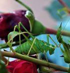 grüner hüpfer auf roter rose