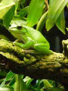 Grüner Intensiver Frosch
