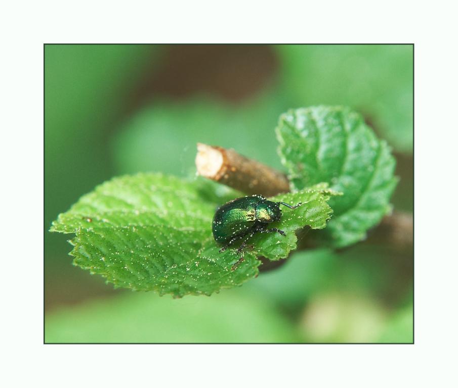 ...grüner Käfer