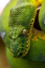 Grüner Knoten mit Augen :-)