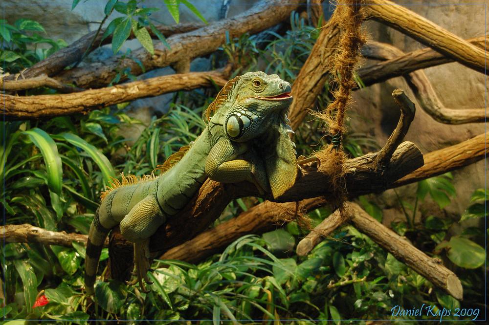 Grüner Leguan (der ganze Kerl)
