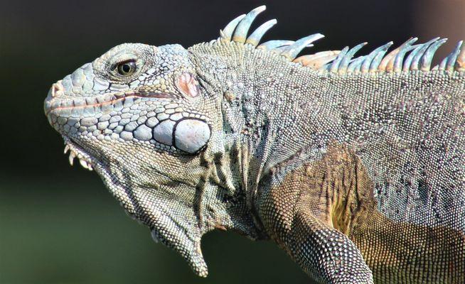 Grüner Leguan (Iguana iguana), Île Royal/Frz.-Guyana 07.11.2016