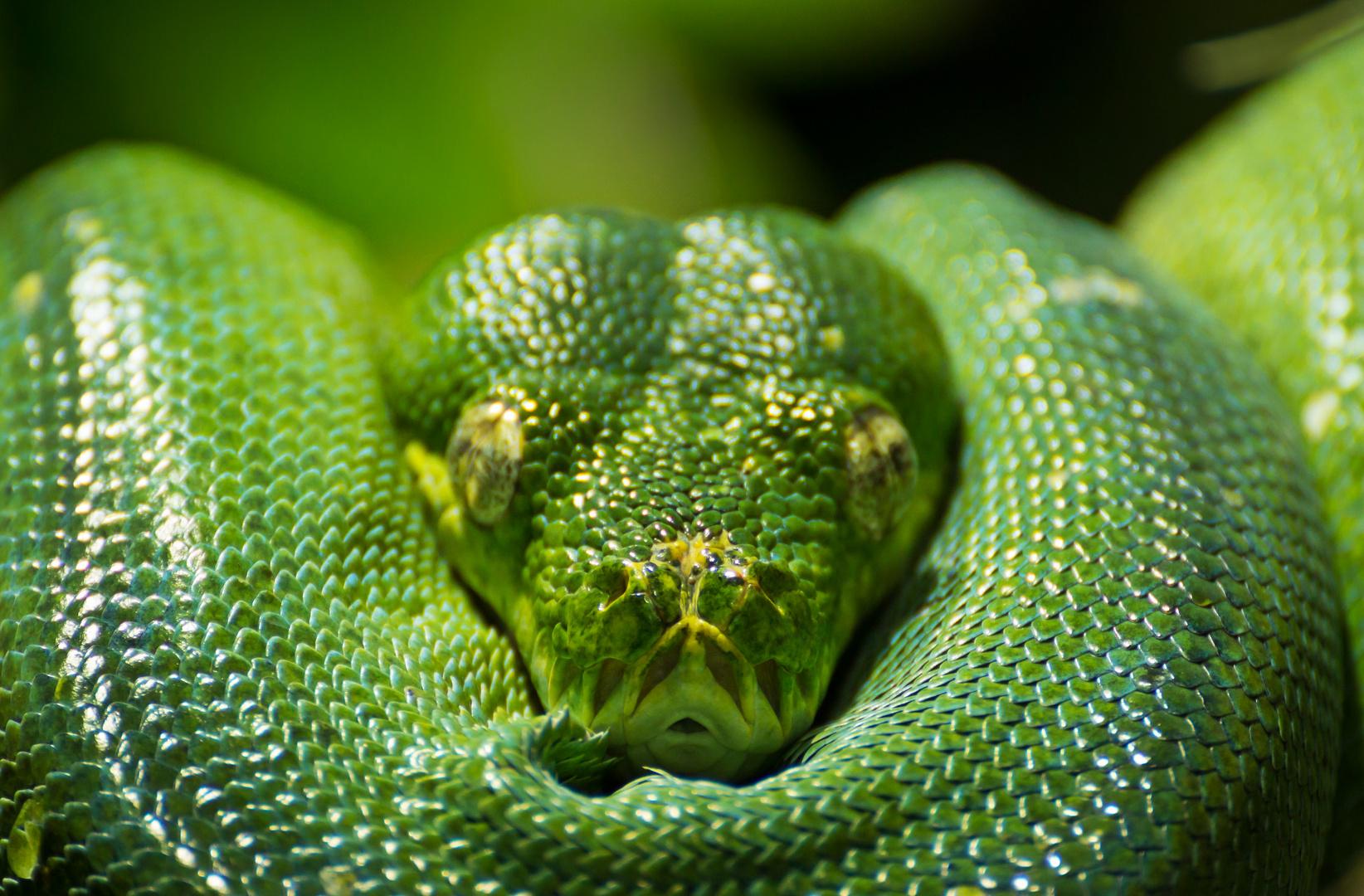 Grüner Python #1