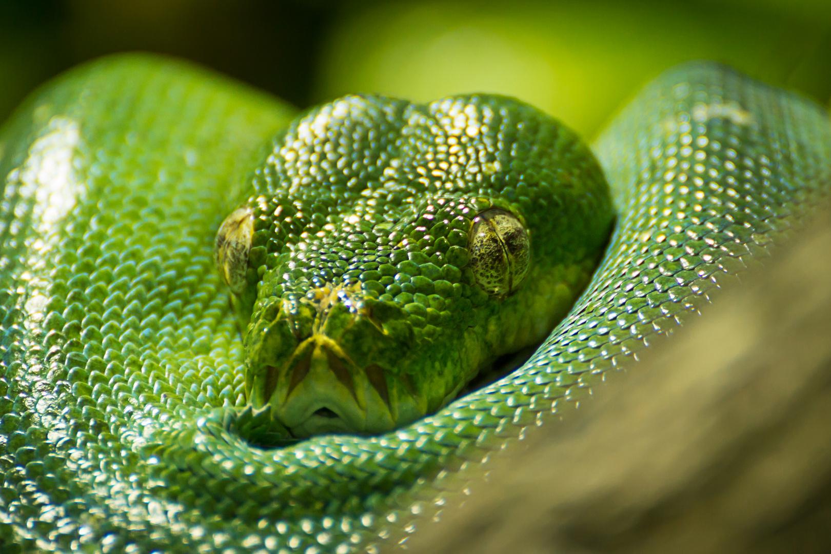 Grüner Python #2
