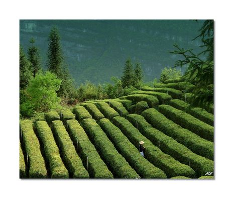 Grüner Tee aus der Provinz Hubei, China