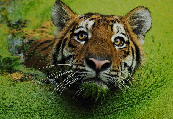 Grüner Tiger