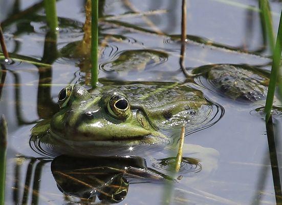 Grüner Wasserfrosch