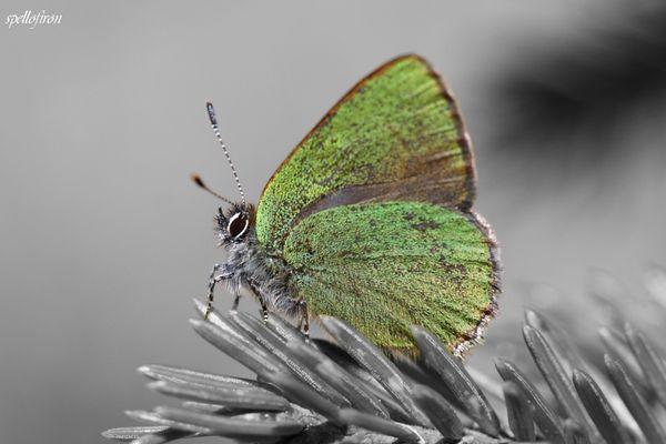 Grüner Zipfelfalter / Kangasperhonen