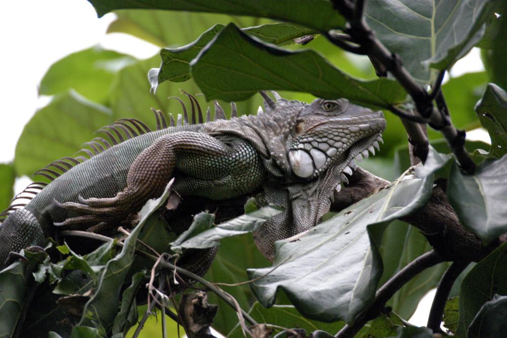 Grünerleguan am Amazonas