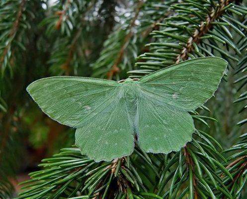 Grünes Blatt auf Fichtenzweig