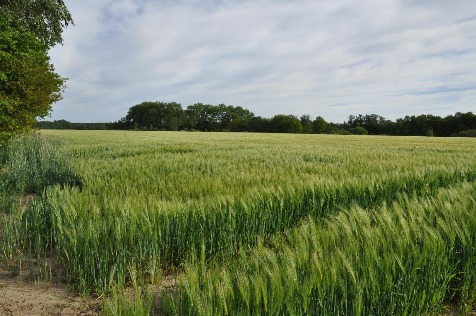 grünes Getreidefeld im Wind