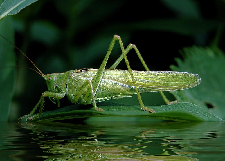 Grünes Heupferd über Wasser