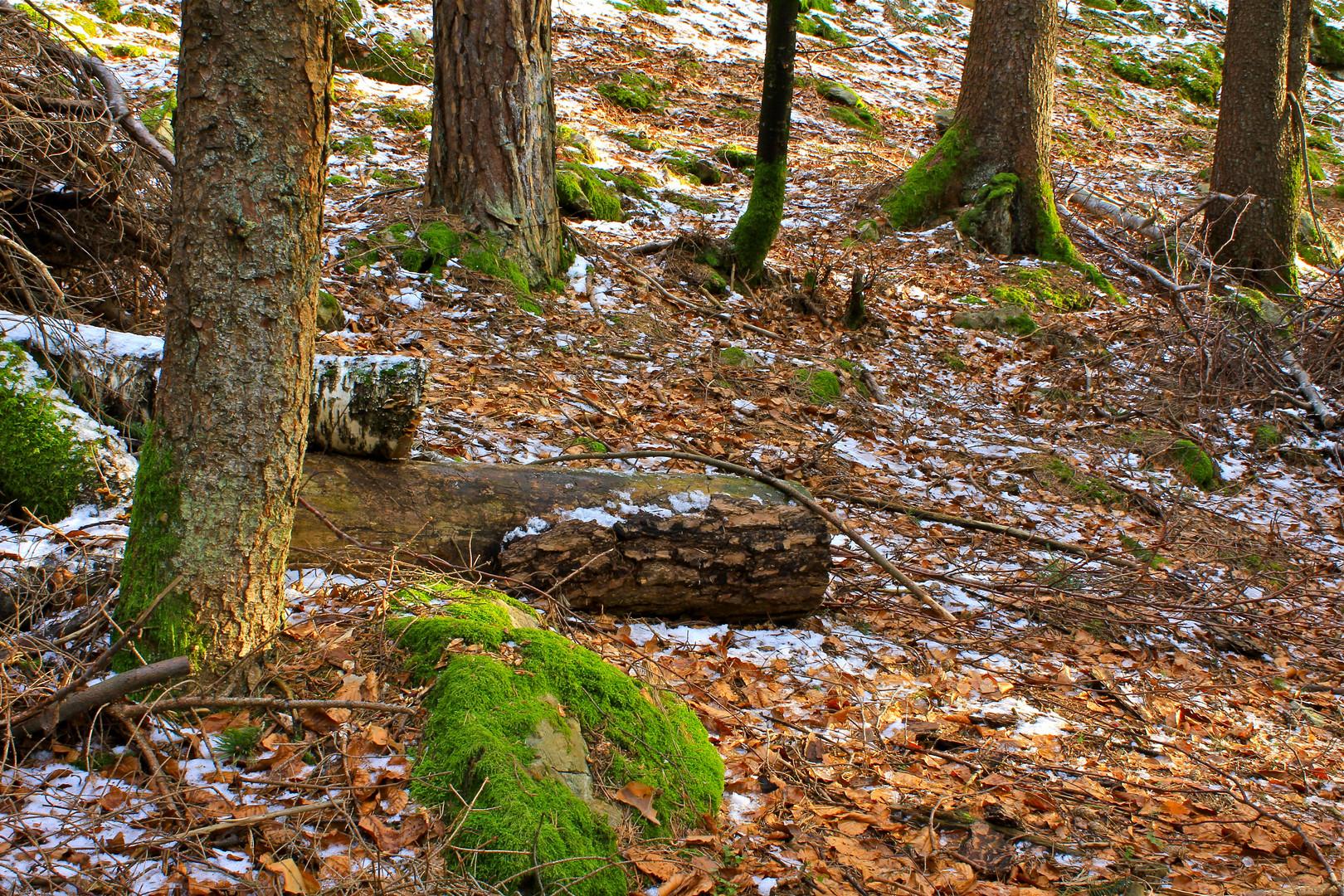 grünes Moss im Wald