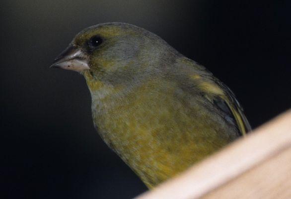 Grünfink auf dem Futterhaus