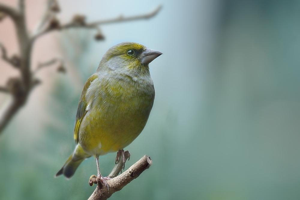Grünfink auf Futtersuche