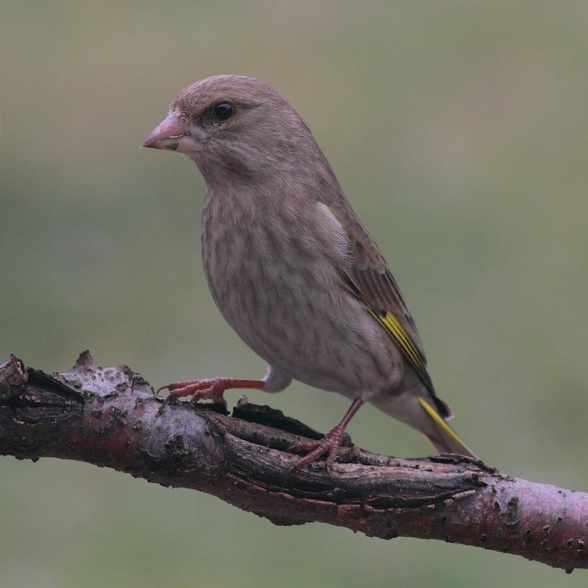 Grünfink (C. chloris)
