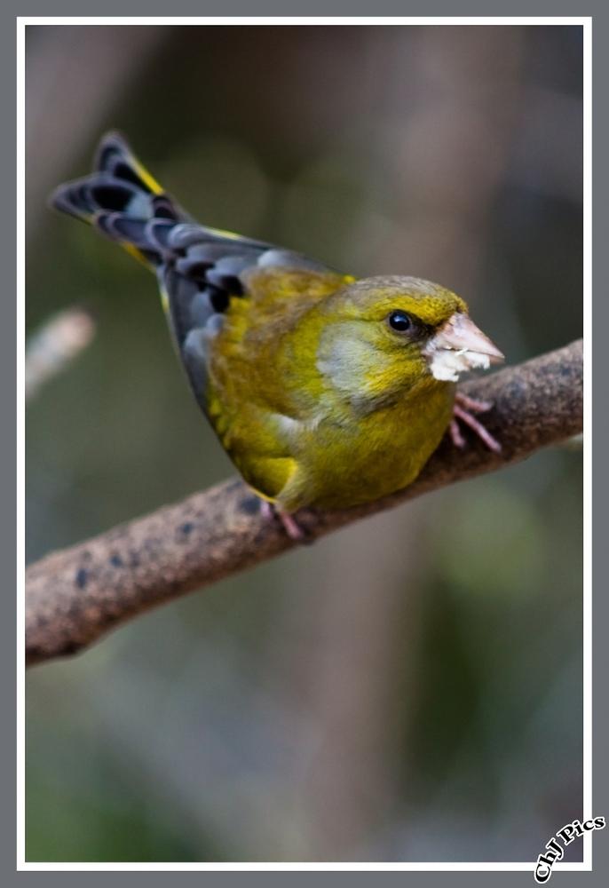 Grünfink der Ernste
