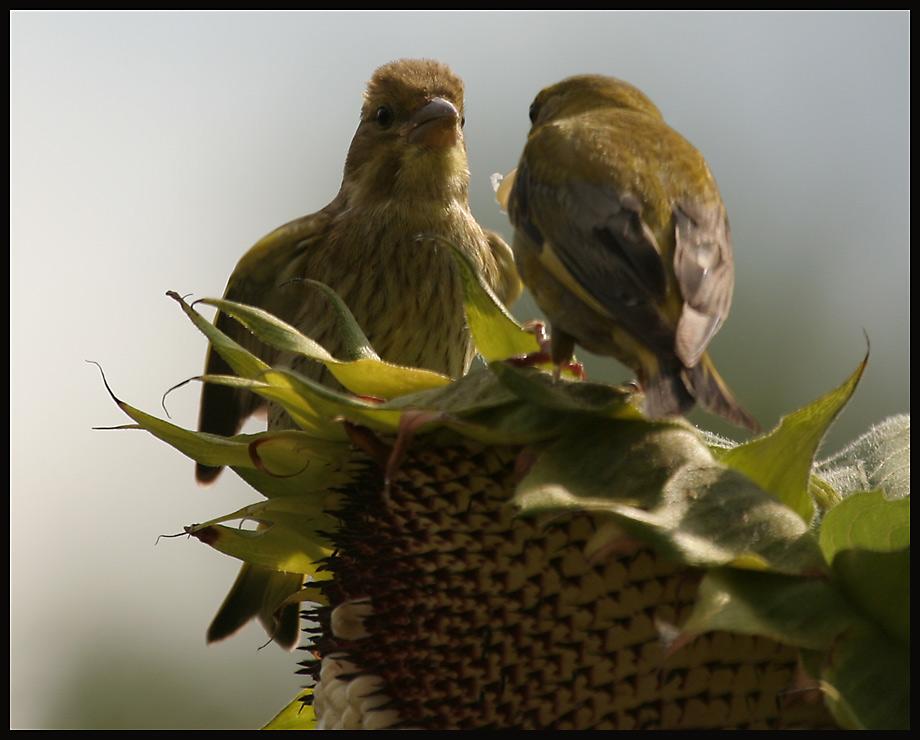 Grünfink Fütterrung 2