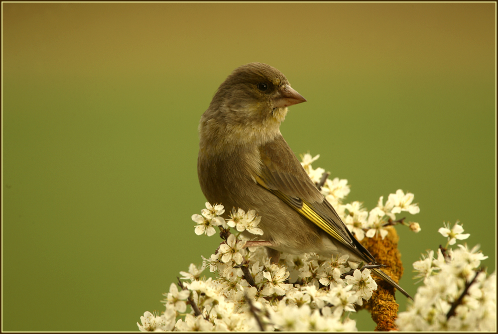Grünfink im Frühling