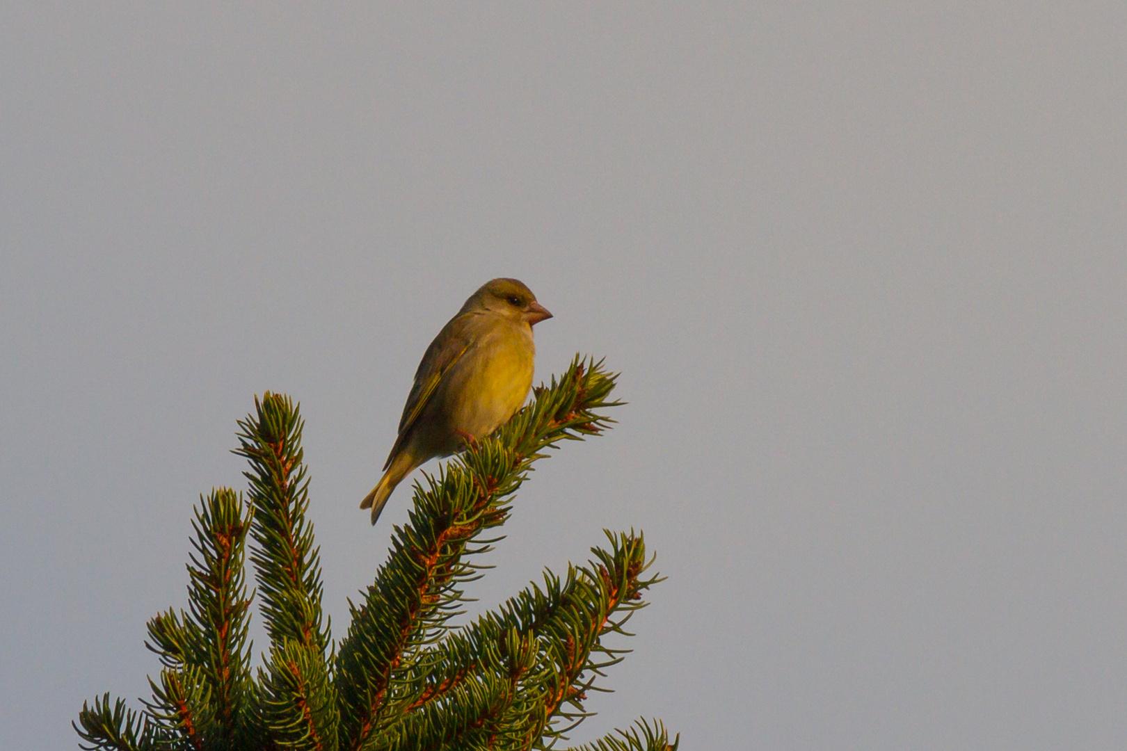 Grünfink im Nadelbaum