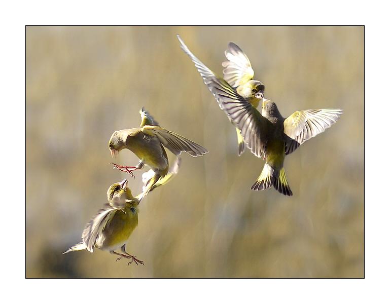 Grünfinken in Aktion