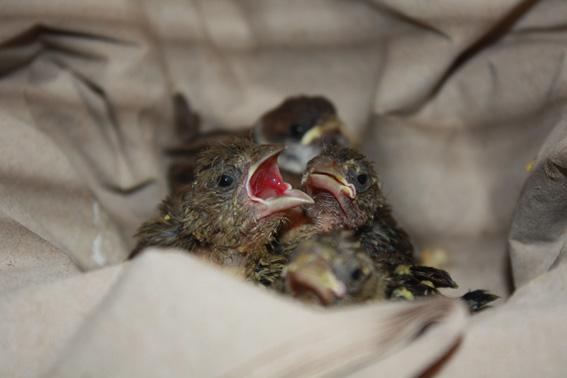 Grünfinken-Küken-Alarm