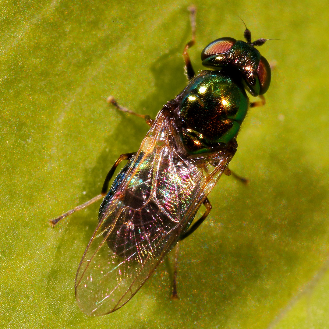 Grünglänzende Waffenfliege (Microchrysa polita), Weibchen