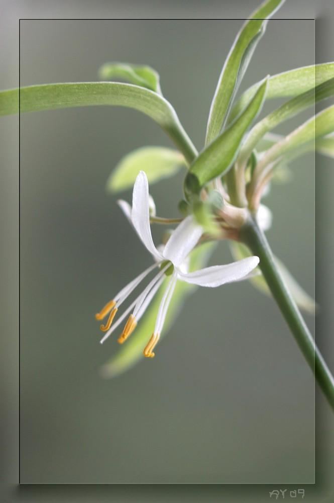 Grünlilienblüte