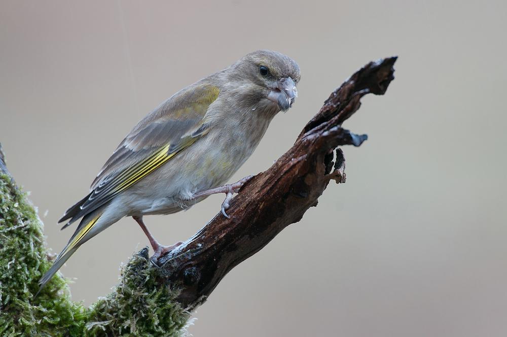 Grünling (Carduelis chloris), auch Grünfink