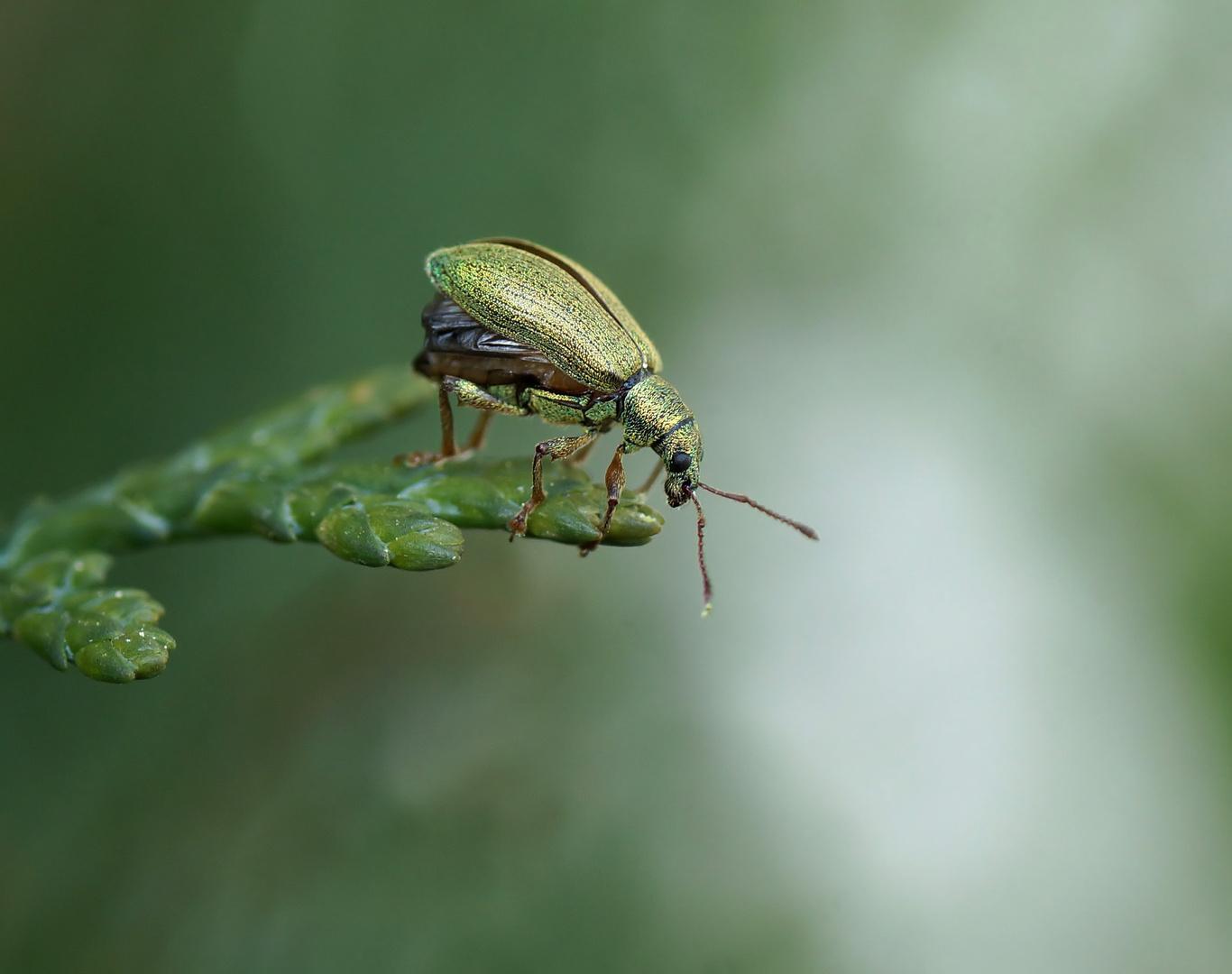 Grünrüssler (Phyllobius arborator)