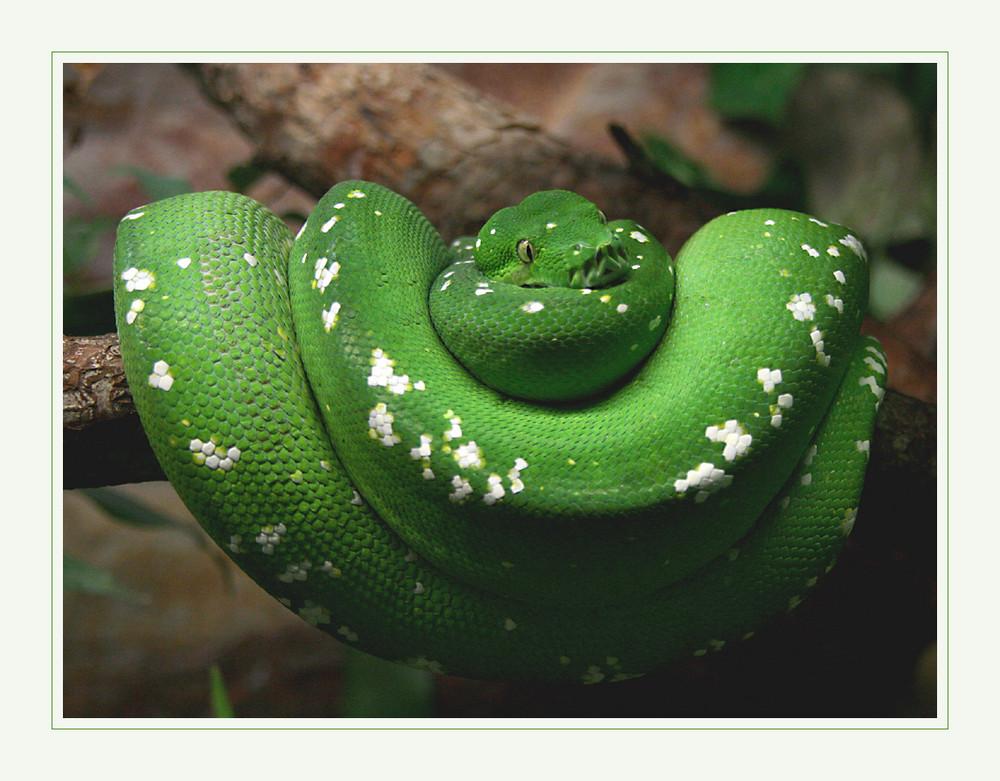 Grünschlange