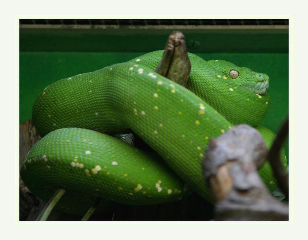 Grünschlangenbruder