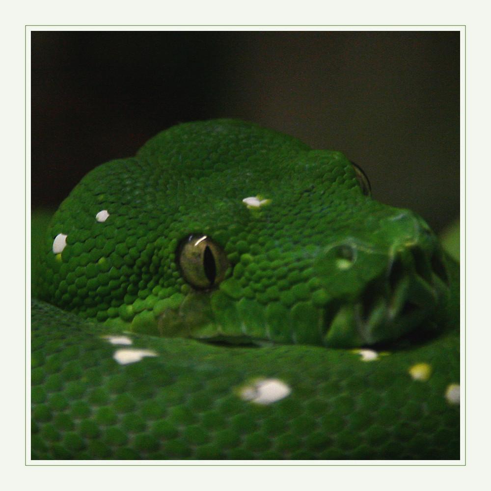 Grünschlangeneyes