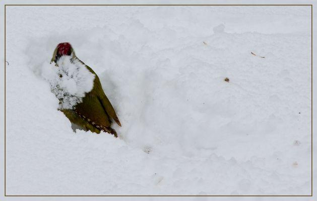 Grünspecht beim Winterdienst