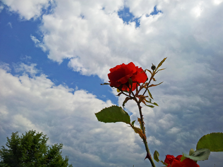 Grüß mir die Rose