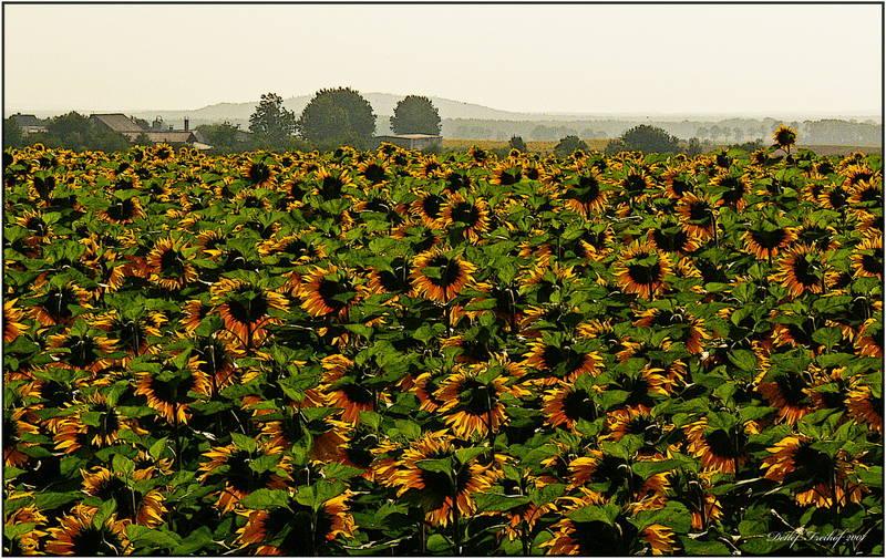 """""""Grüße von den Sonnenblumen"""""""