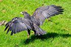 Gruga Essen - Adler beim Start